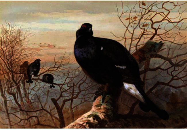 He Evening Roost, Black Game, Watercolour by Archibald Thorburn (1860-1935, United Kingdom)