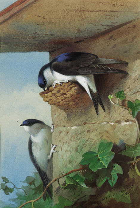 House Martins, On A Nest Beneath The Eves, Watercolour by Archibald Thorburn (1860-1935, United Kingdom)