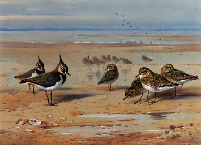 Lapwing And Golden Plover, Watercolour by Archibald Thorburn (1860-1935, United Kingdom)