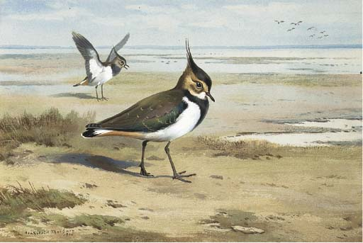 Lapwing Or Peewit, Watercolour by Archibald Thorburn (1860-1935, United Kingdom)