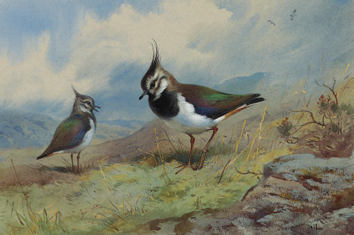 Lapwings In A Rocky Landscape, Watercolour by Archibald Thorburn (1860-1935, United Kingdom)