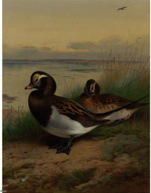 Long Tailed Duck, Summer, Watercolour by Archibald Thorburn (1860-1935, United Kingdom)