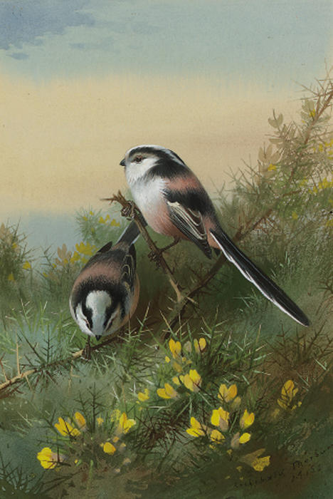 Long-Tailed Tits On Gorse by Archibald Thorburn (1860-1935, United Kingdom) | Museum Quality Reproductions | ArtsDot.com