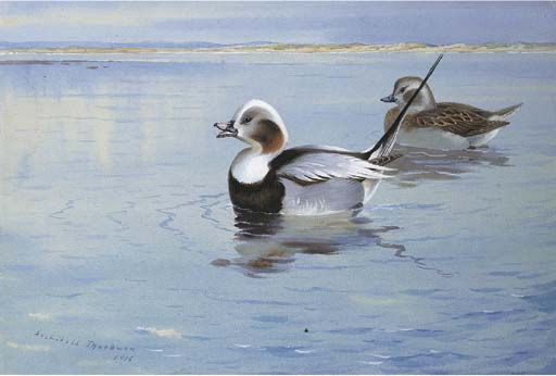 Longtailed Ducks, Watercolour by Archibald Thorburn (1860-1935, United Kingdom)
