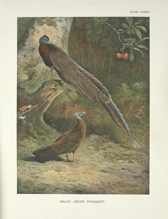 Malay Argus Pheasant (Argusianus Argus), Watercolour by Archibald Thorburn (1860-1935, United Kingdom)