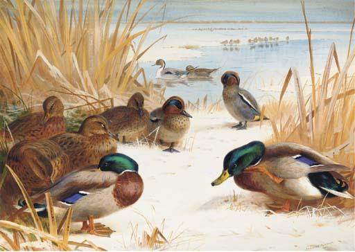 Mallard And Teal In The Snow 1, Watercolour by Archibald Thorburn (1860-1935, United Kingdom)