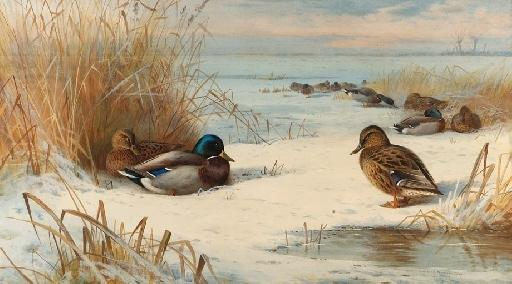 Mallard In A Winter Landscape, Watercolour by Archibald Thorburn (1860-1935, United Kingdom)