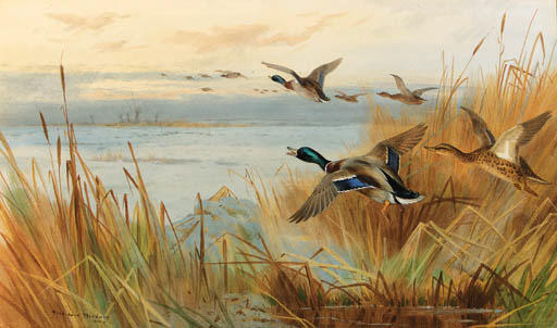 Mallard In Flight, Watercolour by Archibald Thorburn (1860-1935, United Kingdom)