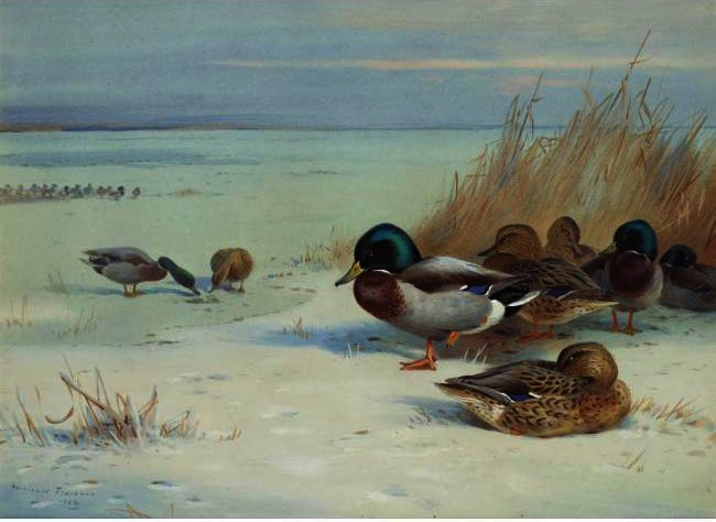 Mallards On A Frozen Lake, Watercolour by Archibald Thorburn (1860-1935, United Kingdom)