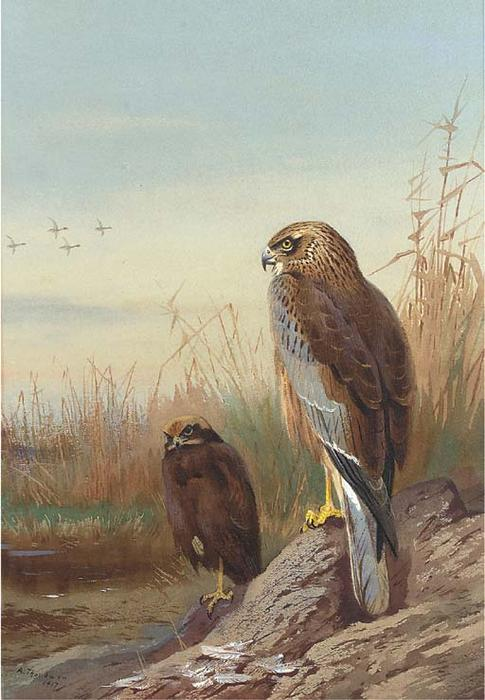 Marsh Harrier, Watercolour by Archibald Thorburn (1860-1935, United Kingdom)