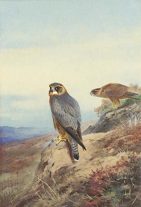 Merlin, Watercolour by Archibald Thorburn (1860-1935, United Kingdom)