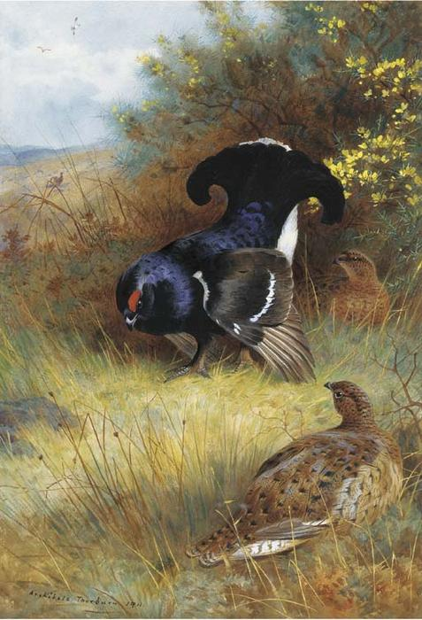 On The Edge Of The Moor; Blackcock Displaying, Watercolour by Archibald Thorburn (1860-1935, United Kingdom)