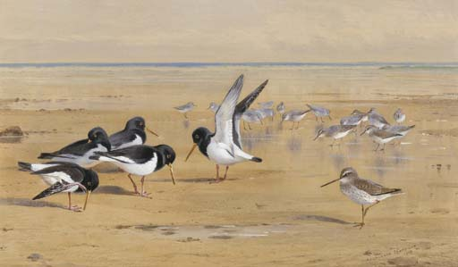 Oyster Catchers, Redshank And Dunlin, Watercolour by Archibald Thorburn (1860-1935, United Kingdom)