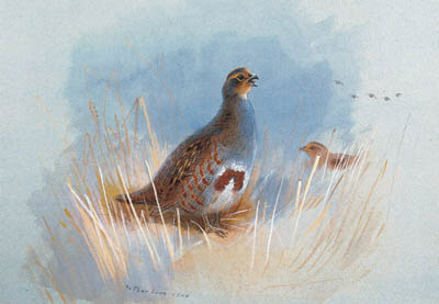 Partridges, Watercolour by Archibald Thorburn (1860-1935, United Kingdom)