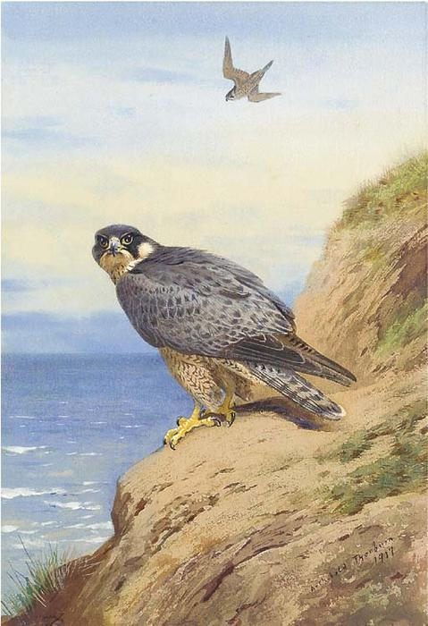 Peregrine Falcon, Watercolour by Archibald Thorburn  (order Fine Art hand made painting Archibald Thorburn)