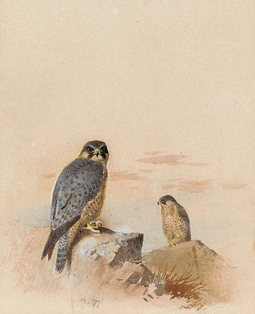 Peregrine Falcons In A Rocky Landscape, Watercolour by Archibald Thorburn (1860-1935, United Kingdom)