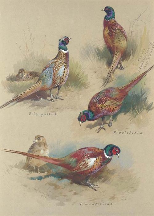 Pheasants, Watercolour by Archibald Thorburn (1860-1935, United Kingdom)