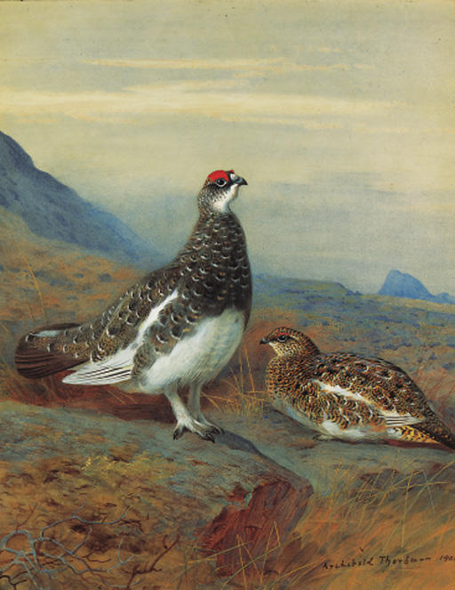 Ptarmigan In Summer Plumage, Watercolour by Archibald Thorburn (1860-1935, United Kingdom)