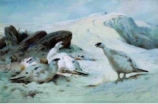 Ptarmigan In The Snow, Watercolour by Archibald Thorburn (1860-1935, United Kingdom)