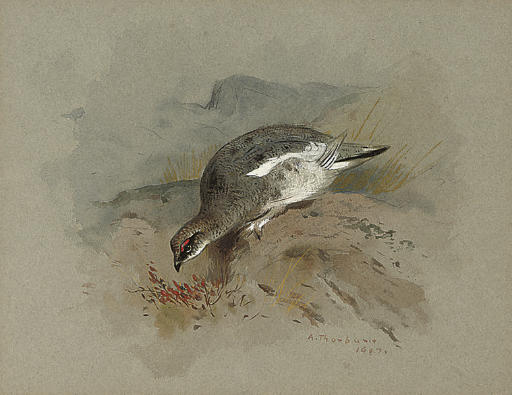 Ptarmigan On A Rock, Watercolour by Archibald Thorburn (1860-1935, United Kingdom)