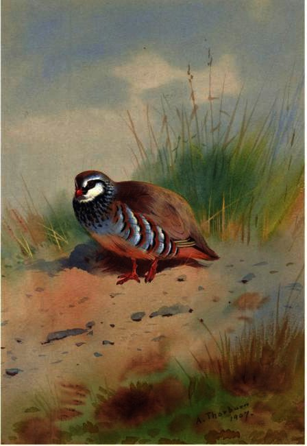 Red-Legged Partridge, Watercolour by Archibald Thorburn (1860-1935, United Kingdom)