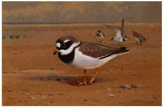 Ring Plover, Watercolour by Archibald Thorburn (1860-1935, United Kingdom)
