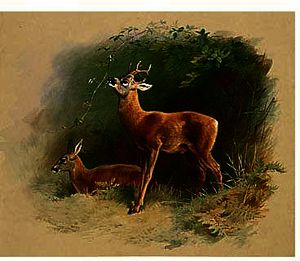Archibald Thorburn - Roe Deer