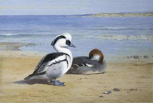 Smew, Watercolour by Archibald Thorburn (1860-1935, United Kingdom)