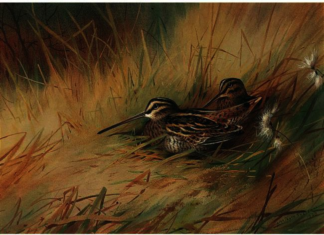 Snipe 2, Watercolour by Archibald Thorburn (1860-1935, United Kingdom)