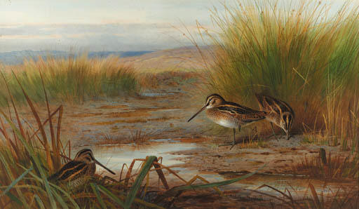 Snipe Feeding Beneath Rushes, Watercolour by Archibald Thorburn (1860-1935, United Kingdom)