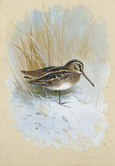 Snipe, Watercolour by Archibald Thorburn (1860-1935, United Kingdom)