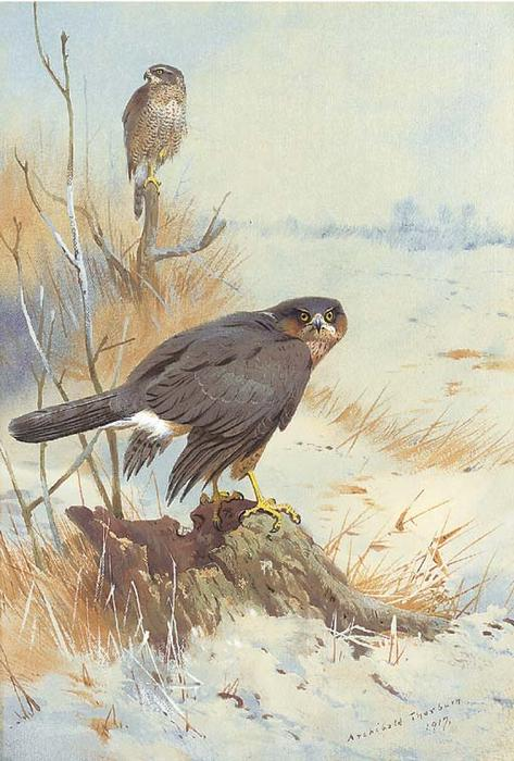 Sparrowhawk In Winter, Watercolour by Archibald Thorburn (1860-1935, United Kingdom)