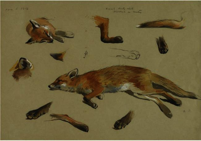 Studies Of A Recumbent Fox, Watercolour by Archibald Thorburn (1860-1935, United Kingdom)