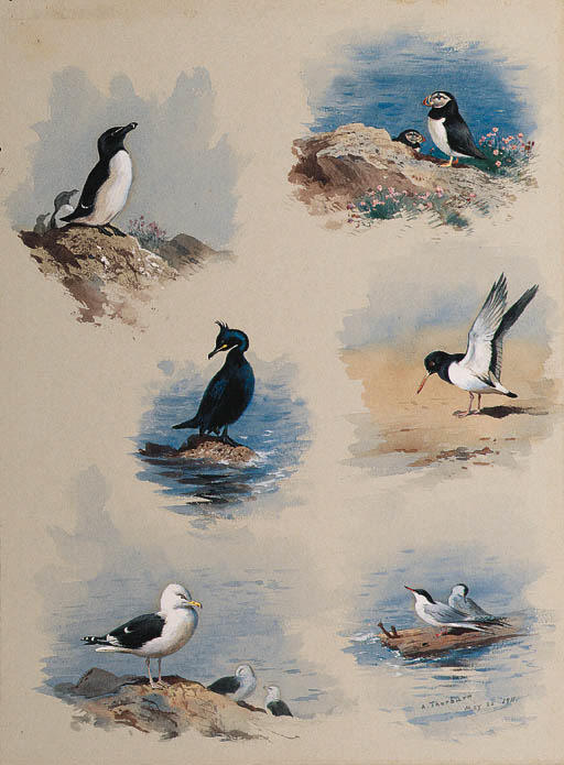 Studies Of Seabirds, Watercolour by Archibald Thorburn (1860-1935, United Kingdom)