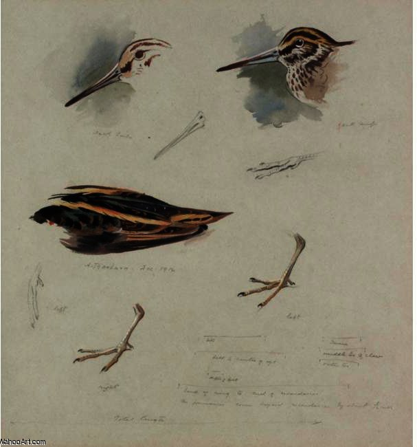Studies Of Snipe, Watercolour by Archibald Thorburn (1860-1935, United Kingdom)