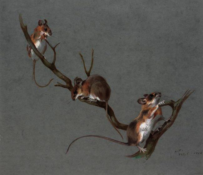 Three Field Mice, Watercolour by Archibald Thorburn (1860-1935, United Kingdom)