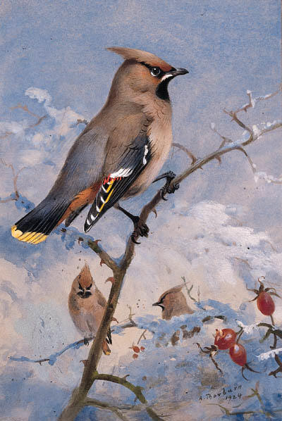 Three Waxwings On A Rose In Winter, Watercolour by Archibald Thorburn (1860-1935, United Kingdom)