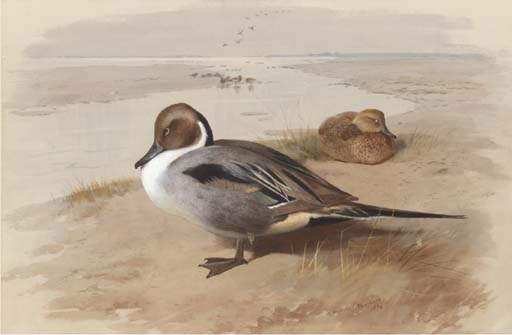 Two Pintails In A Natural Setting, Watercolour by Archibald Thorburn (1860-1935, United Kingdom)