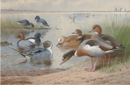Wildfowl. Pintail, Pochard, Tufted, Ruddy Shelduck, Widgeon And Brent Geese, Watercolour by Archibald Thorburn (1860-1935, United Kingdom)
