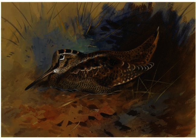 Woodcock 1, Watercolour by Archibald Thorburn (1860-1935, United Kingdom)