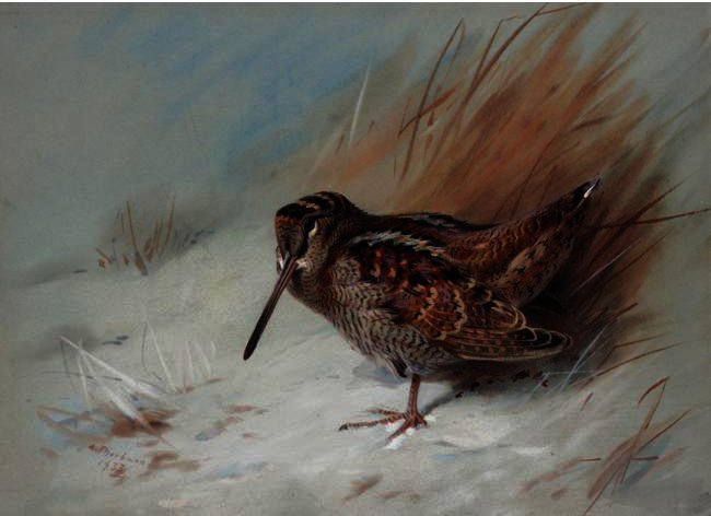 Woodcock 2, Watercolour by Archibald Thorburn (1860-1935, United Kingdom)