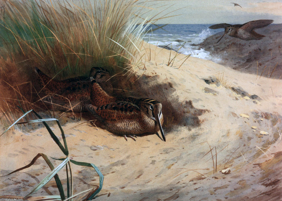 Woodcock Among The Dunes, Watercolour by Archibald Thorburn (1860-1935, United Kingdom)