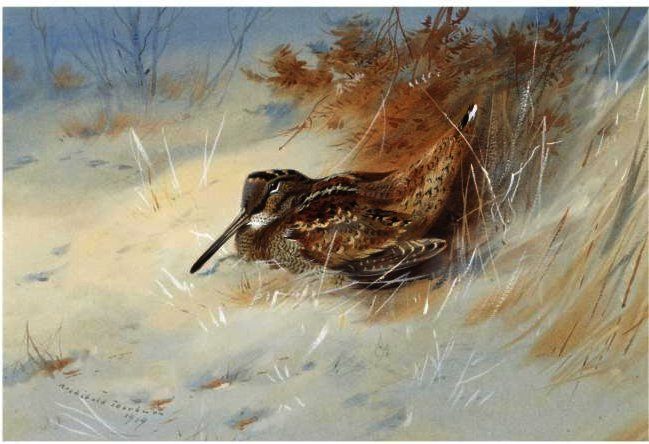 Woodcock Sheltering In The Snow, Watercolour by Archibald Thorburn (1860-1935, United Kingdom)