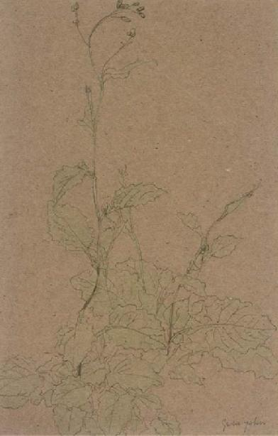 Study of a plant by Gwen John (1876-1939, United States)