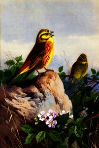 Archibald Thorburn - A Pair of Yellowhammers