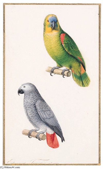 Amazonian Parrot - Amazona Aestiva Perroquet Cendre - Ash-coloured Parrot - Psittacus Erithacus by Edouard Travies (1809-1876, France) | Museum Art Reproductions | ArtsDot.com