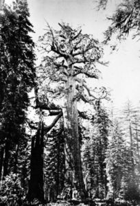 Carleton Emmons Watkins - The Grizzly Giant