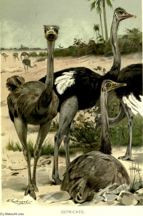 Ostriches Struthio Camelus by Friedrich Wilhelm Kuhnert (1865-1926, Poland) | Art Reproduction | ArtsDot.com