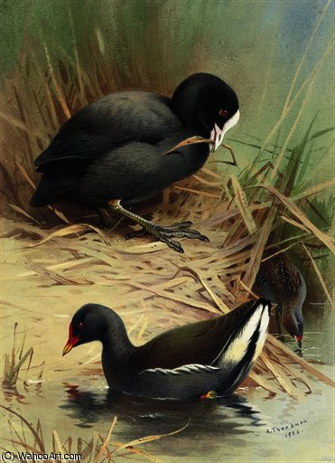 A coot, moorhen and baillons crake by Archibald Thorburn (1860-1935, United Kingdom)
