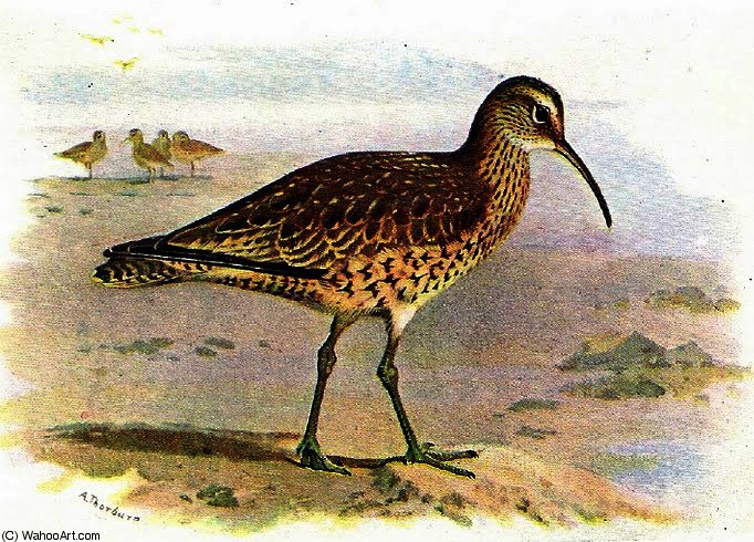 Eskimo curlew by Archibald Thorburn (1860-1935, United Kingdom)